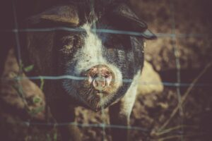what the bible says about eating pork