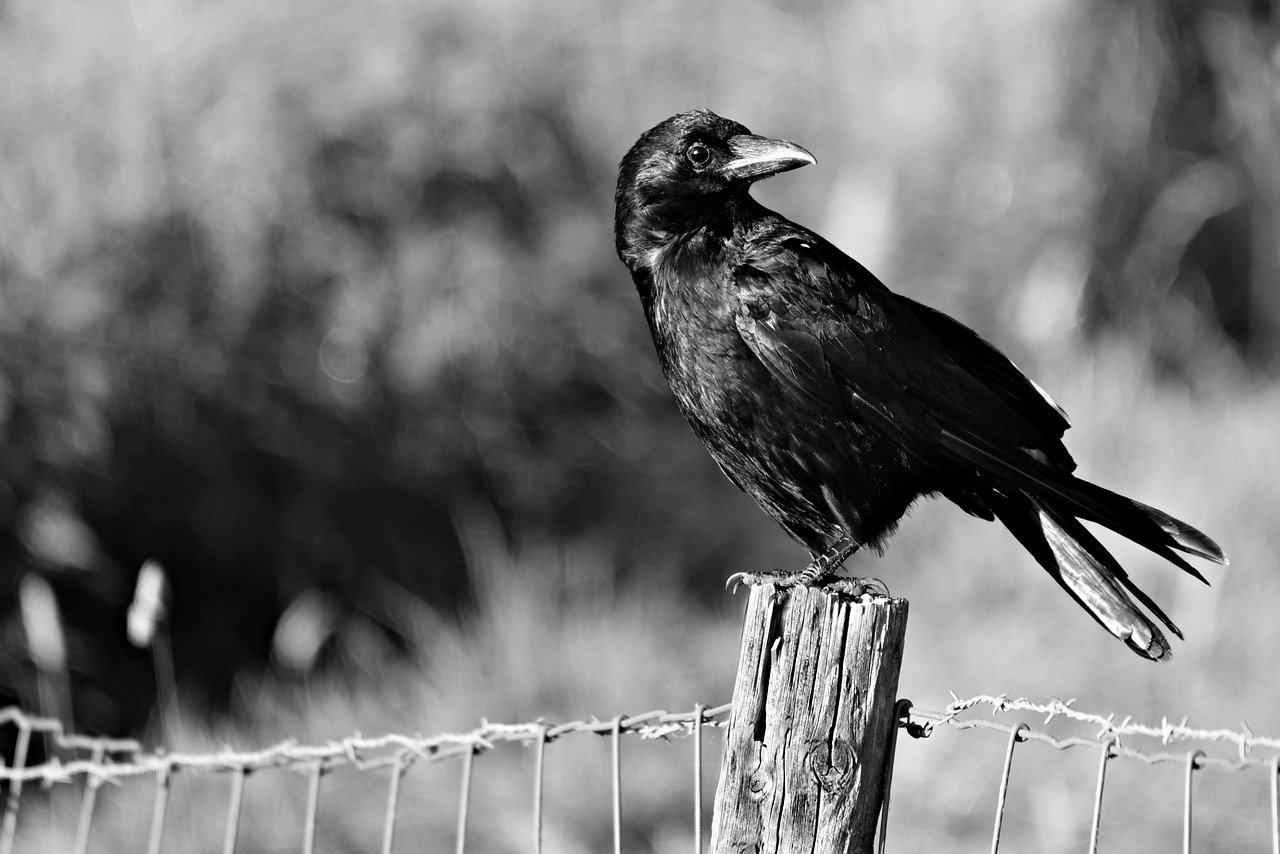 Crow As A Symbol Of God's Provision